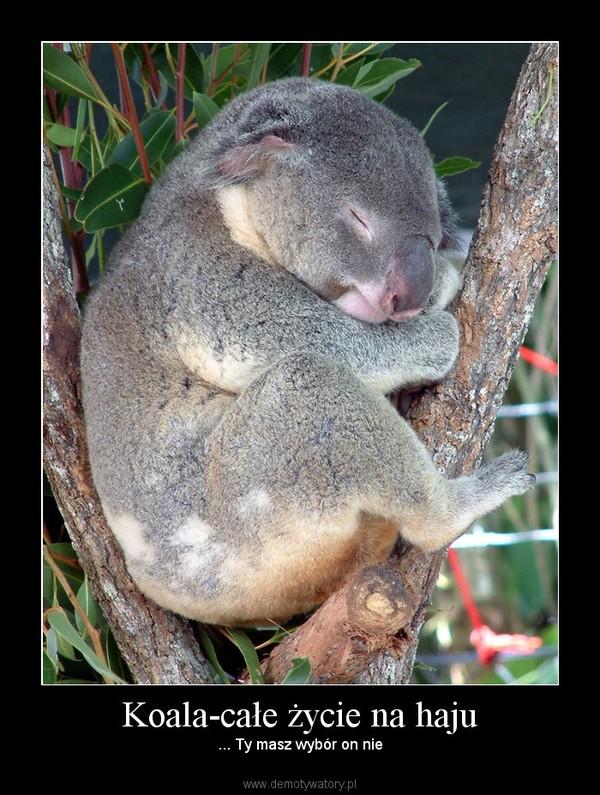 Koala-całe życie na haju – ... Ty masz wybór on nie
