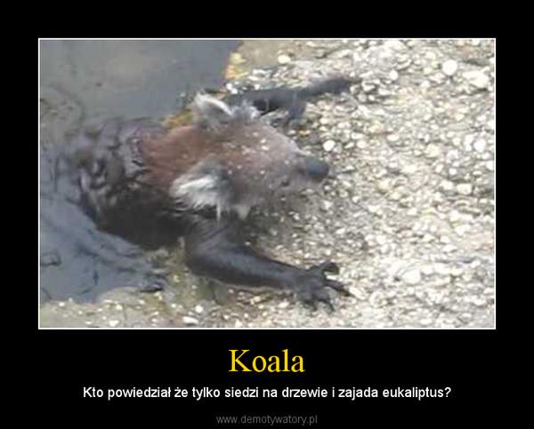 Koala – Kto powiedział że tylko siedzi na drzewie i zajada eukaliptus?