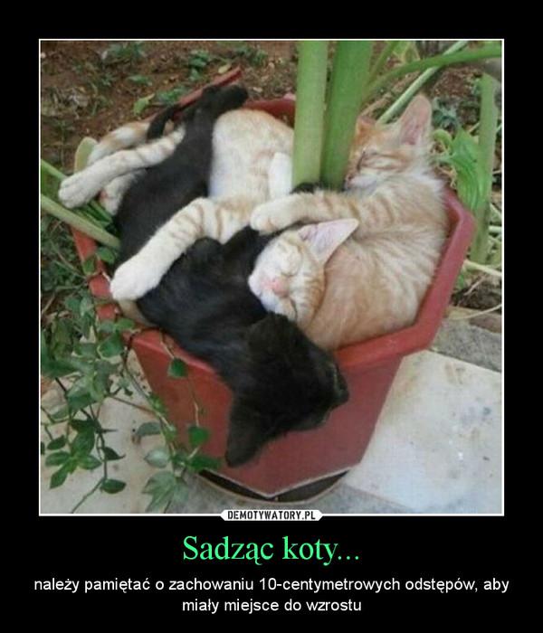 Sadząc koty... – należy pamiętać o zachowaniu 10-centymetrowych odstępów, aby miały miejsce do wzrostu