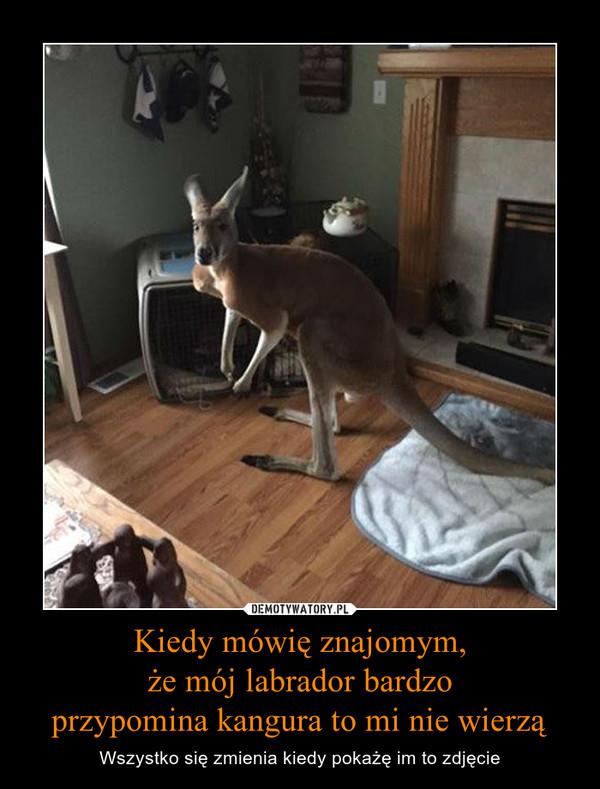 Kiedy mówię znajomym,że mój labrador bardzoprzypomina kangura to mi nie wierzą – Wszystko się zmienia kiedy pokażę im to zdjęcie