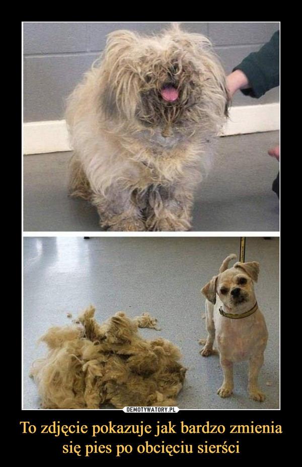 To zdjęcie pokazuje jak bardzo zmienia się pies po obcięciu sierści –