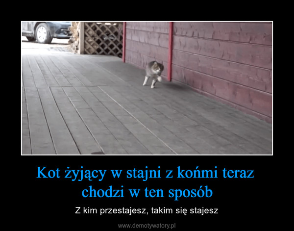 Kot żyjący w stajni z końmi teraz chodzi w ten sposób – Z kim przestajesz, takim się stajesz