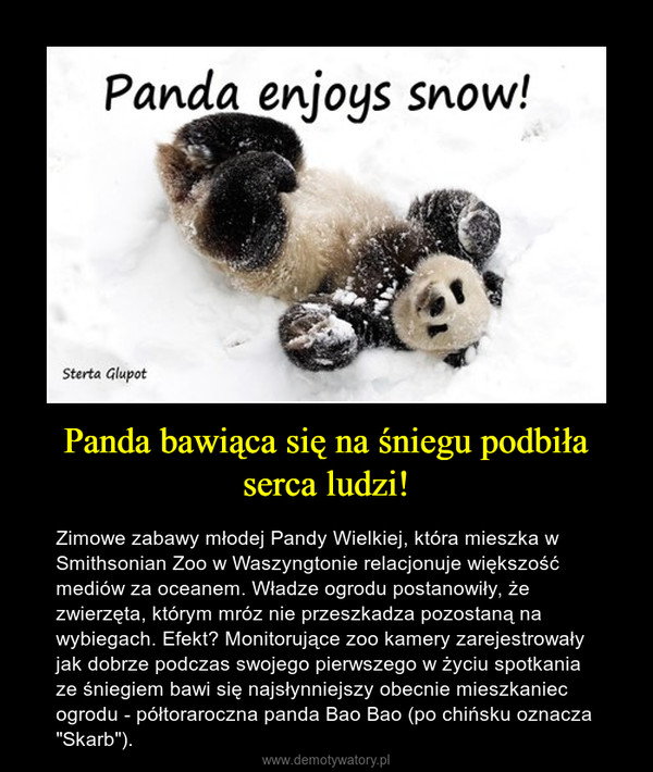 """Panda bawiąca się na śniegu podbiła serca ludzi! – Zimowe zabawy młodej Pandy Wielkiej, która mieszka w Smithsonian Zoo w Waszyngtonie relacjonuje większość mediów za oceanem. Władze ogrodu postanowiły, że zwierzęta, którym mróz nie przeszkadza pozostaną na wybiegach. Efekt? Monitorujące zoo kamery zarejestrowały jak dobrze podczas swojego pierwszego w życiu spotkania ze śniegiem bawi się najsłynniejszy obecnie mieszkaniec ogrodu - półtoraroczna panda Bao Bao (po chińsku oznacza """"Skarb"""")."""