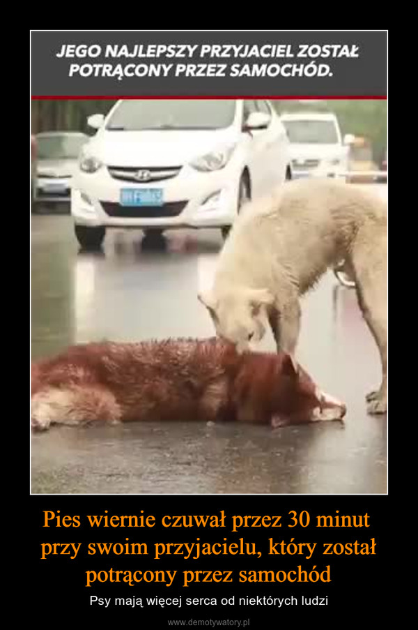 Pies wiernie czuwał przez 30 minut przy swoim przyjacielu, który został potrącony przez samochód – Psy mają więcej serca od niektórych ludzi JEGO NAJLEPSZY PRZYJACIEL ZOSTAŁPOTRĄCONY PRZEZ SAMOCHÓD.