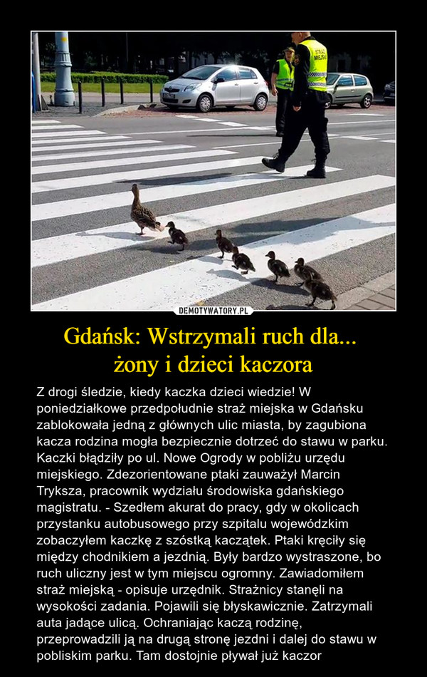 Gdańsk: Wstrzymali ruch dla... żony i dzieci kaczora – Z drogi śledzie, kiedy kaczka dzieci wiedzie! W poniedziałkowe przedpołudnie straż miejska w Gdańsku zablokowała jedną z głównych ulic miasta, by zagubiona kacza rodzina mogła bezpiecznie dotrzeć do stawu w parku.Kaczki błądziły po ul. Nowe Ogrody w pobliżu urzędu miejskiego. Zdezorientowane ptaki zauważył Marcin Tryksza, pracownik wydziału środowiska gdańskiego magistratu. - Szedłem akurat do pracy, gdy w okolicach przystanku autobusowego przy szpitalu wojewódzkim zobaczyłem kaczkę z szóstką kaczątek. Ptaki kręciły się między chodnikiem a jezdnią. Były bardzo wystraszone, bo ruch uliczny jest w tym miejscu ogromny. Zawiadomiłem straż miejską - opisuje urzędnik. Strażnicy stanęli na wysokości zadania. Pojawili się błyskawicznie. Zatrzymali auta jadące ulicą. Ochraniając kaczą rodzinę, przeprowadzili ją na drugą stronę jezdni i dalej do stawu w pobliskim parku. Tam dostojnie pływał już kaczor