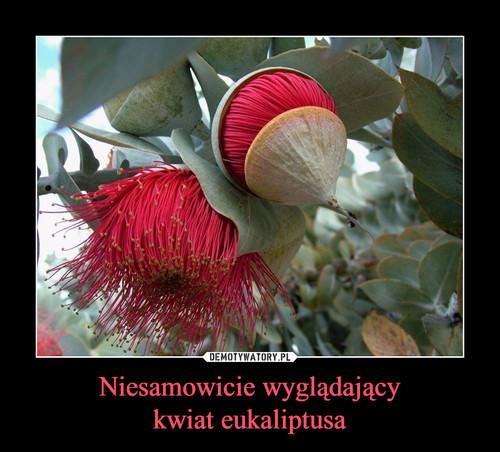 Niesamowicie wyglądający kwiat eukaliptusa