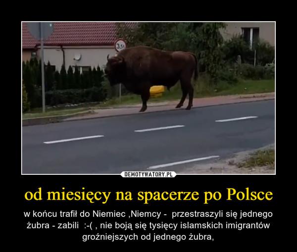 od miesięcy na spacerze po Polsce – w końcu trafił do Niemiec ,Niemcy -  przestraszyli się jednego żubra - zabili  :-( , nie boją się tysięcy islamskich imigrantów groźniejszych od jednego żubra,