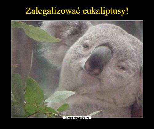 Zalegalizować eukaliptusy!