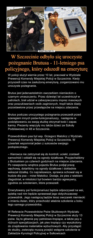 W Szczecinie odbyło się uroczyste pożegnanie Brutusa - 11-letniego psa policyjnego, który odszedł na emeryturę – W policji służył wiernie przez 10 lat, pracował w Wydziale Prewencji Komendy Miejskiej Policji w Szczecinie. Kiedy przyszedł czas na zasłużoną emeryturę, zorganizowano mu uroczyste pożegnanie.Brutus jest jedenastoletnim owczarkiem niemieckim o czarnym umaszczeniu. Przez dziesięć lat uczestniczył w patrolach, brał udział w zabezpieczaniu imprez masowych oraz poszukiwaniach osób zaginionych, tropił także ślady pozostawione przez przestępców na miejscu zdarzenia.Brutus podczas uroczystego pożegnania przeszedł przed szeregiem innych psów-funkcjonariuszy,  następnie w podziękowaniu za swoją służbę otrzymał kość i zapas karmy. Prezenty wręczyły mu także dzieci ze Szkoły Podstawowej nr 48 w Szczecinie.Przewodnikiem psa był asp. Grzegorz Matolicz z Wydziału Prewencji Komendy Miejskiej Policji w Szczecinie. W czwartek wspomniał jeden z sukcesów swojego podopiecznego.– Kierowca nie zatrzymał się do kontroli; uciekł, zostawił samochód i oddalił się na ogrody działkowe. Przyjechaliśmy z Brutuskiem po czterech godzinach na miejsce zdarzenia. Po nawęszeniu wnętrza pojazdu Brutus podjął pracę węchową, dotarliśmy na ogrody działkowe i dokładnie wskazał działkę. Co najciekawsze, sprawca schował się w budzie dla psa – mówi Matolicz. Dodaje, że pies z wiekiem złagodniał, w młodości był bowiem bardzo agresywny, zgodnie ze szkoleniem, które przeszedł.Emerytowany psi funkcjonariusz będzie odpoczywał na wsi, opiekę nad nim będzie sprawował jego dotychczasowy przewodnik. Jego następcą będzie teraz owczarek niemiecki o imieniu Aslan, który przechodzi właśnie szkolenie u boku tego samego przewodnika.W Referacie Przewodników Psów Służbowych Wydziału Prewencji Komendy Miejskiej Policji w Szczecinie służy 13 psów. Są to głównie psy patrolowo-tropiące, a także psy o różnych specjalizacjach, jak pies tropiący czy wyszkolony do znajdowania materiałów wybuchowych. Aby przystąpić do służb
