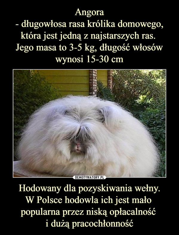 Hodowany dla pozyskiwania wełny.W Polsce hodowla ich jest mało popularna przez niską opłacalność i dużą pracochłonność –