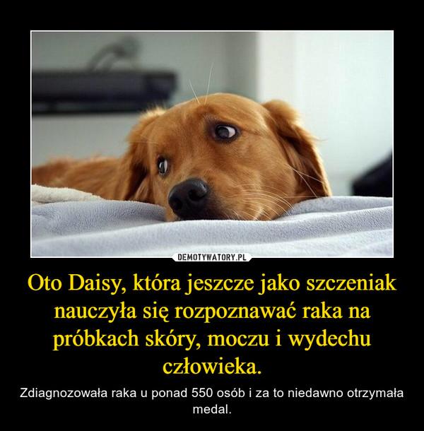 Oto Daisy, która jeszcze jako szczeniak nauczyła się rozpoznawać raka na próbkach skóry, moczu i wydechu człowieka. – Zdiagnozowała raka u ponad 550 osób i za to niedawno otrzymała medal.