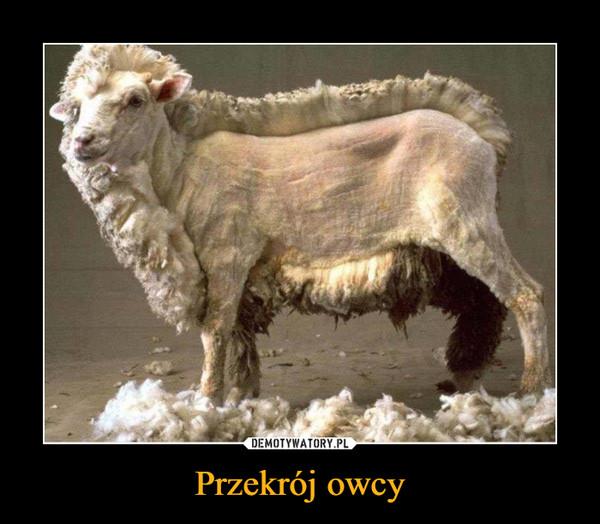 Przekrój owcy –