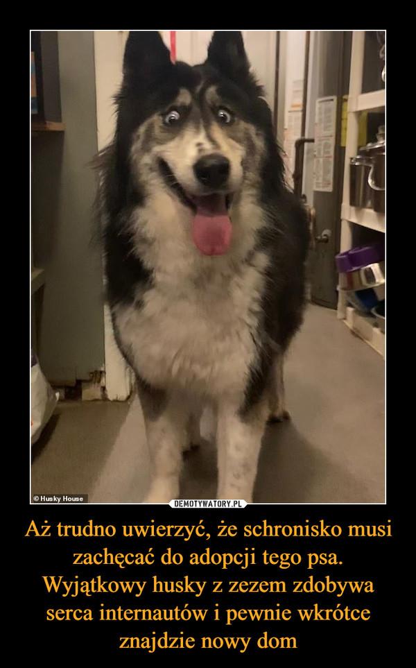 Aż trudno uwierzyć, że schronisko musi zachęcać do adopcji tego psa. Wyjątkowy husky z zezem zdobywa serca internautów i pewnie wkrótce znajdzie nowy dom –