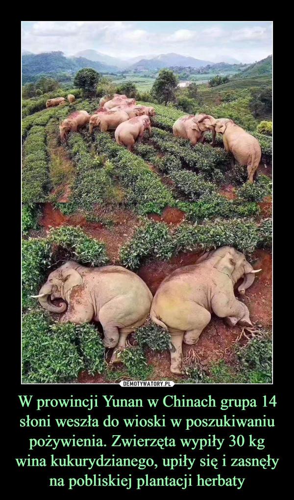 W prowincji Yunan w Chinach grupa 14 słoni weszła do wioski w poszukiwaniu pożywienia. Zwierzęta wypiły 30 kg wina kukurydzianego, upiły się i zasnęły na pobliskiej plantacji herbaty –