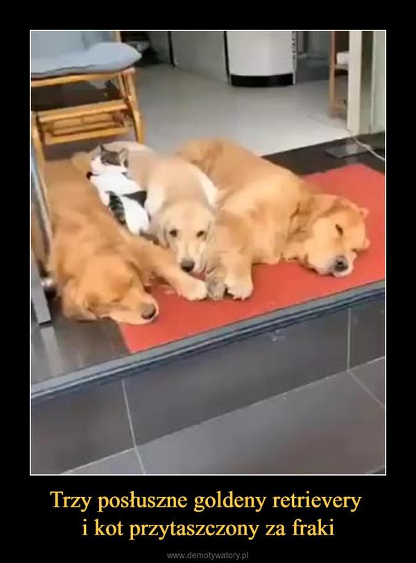 Trzy posłuszne goldeny retrievery i kot przytaszczony za fraki –