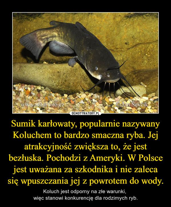 Sumik karłowaty, popularnie nazywany Koluchem to bardzo smaczna ryba. Jej atrakcyjność zwiększa to, że jest bezłuska. Pochodzi z Ameryki. W Polsce jest uważana za szkodnika i nie zaleca się wpuszczania jej z powrotem do wody. – Koluch jest odporny na złe warunki, więc stanowi konkurencję dla rodzimych ryb.