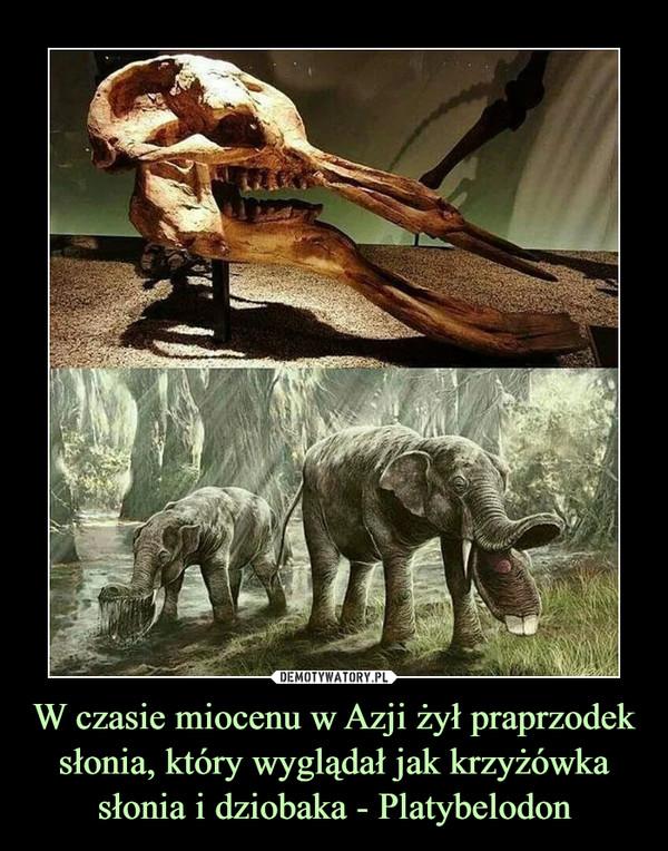 W czasie miocenu w Azji żył praprzodek słonia, który wyglądał jak krzyżówka słonia i dziobaka - Platybelodon –