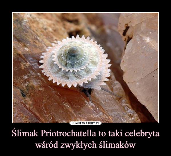 Ślimak Priotrochatella to taki celebryta wśród zwykłych ślimaków –