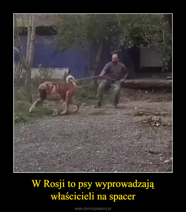 W Rosji to psy wyprowadzająwłaścicieli na spacer –