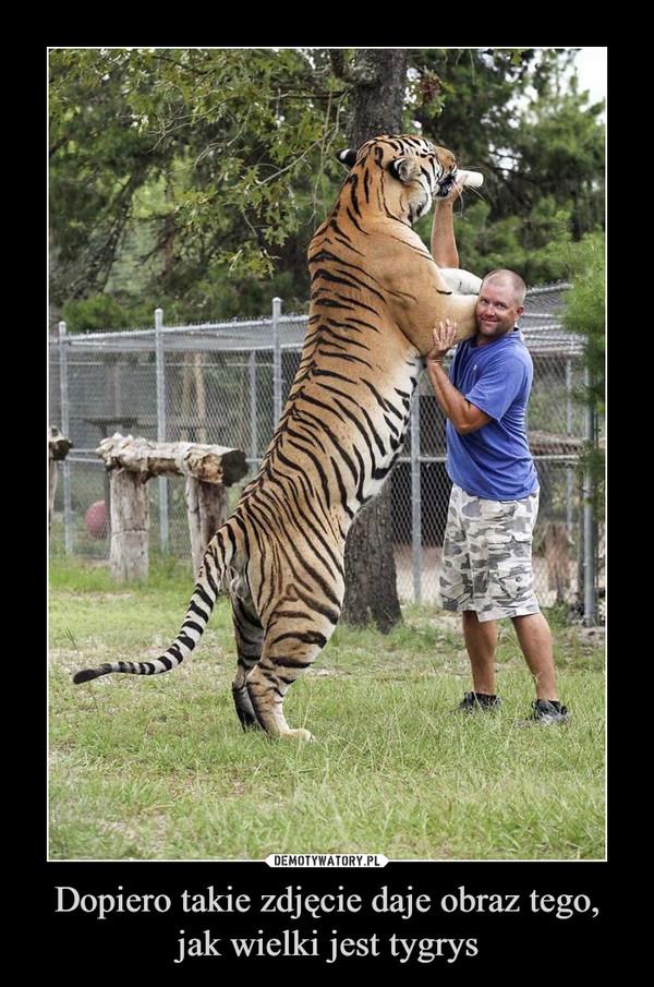 Dopiero takie zdjęcie daje obraz tego, jak wielki jest tygrys –