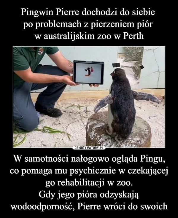 W samotności nałogowo ogląda Pingu, co pomaga mu psychicznie w czekającej go rehabilitacji w zoo.Gdy jego pióra odzyskają wodoodporność, Pierre wróci do swoich –