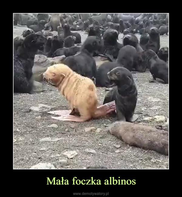 Mała foczka albinos –