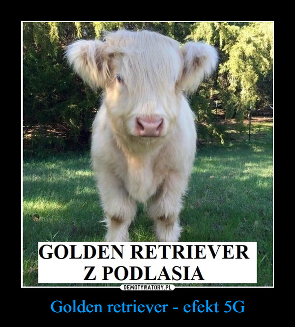 Golden retriever - efekt 5G –  GOLDEN RETRIEVER Z PODLASIA