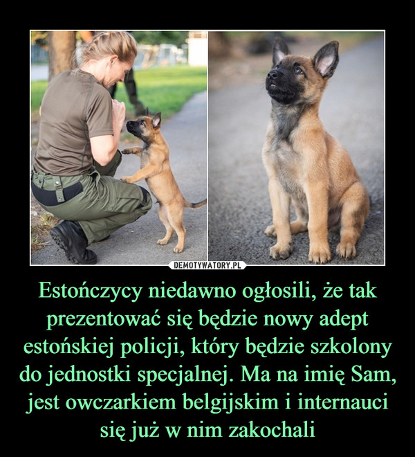 Estończycy niedawno ogłosili, że tak prezentować się będzie nowy adept estońskiej policji, który będzie szkolony do jednostki specjalnej. Ma na imię Sam, jest owczarkiem belgijskim i internauci się już w nim zakochali –