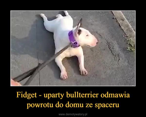 Fidget - uparty bullterrier odmawia powrotu do domu ze spaceru –