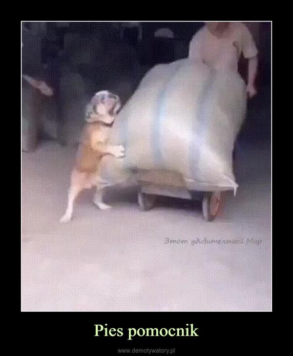Pies pomocnik –