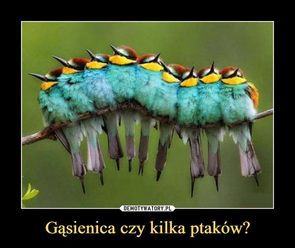 Gąsienica czy kilka ptaków? –