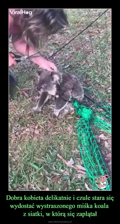 Dobra kobieta delikatnie i czule stara się wydostać wystraszonego miśka koala z siatki, w którą się zaplątał –