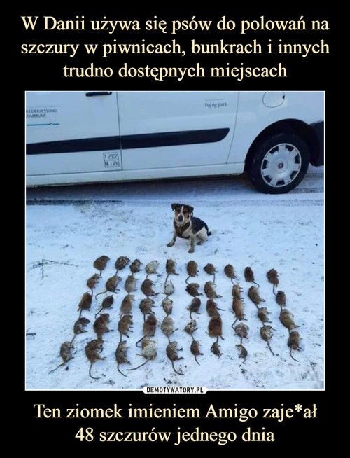 W Danii używa się psów do polowań na szczury w piwnicach, bunkrach i innych trudno dostępnych miejscach Ten ziomek imieniem Amigo zaje*ał 48 szczurów jednego dnia