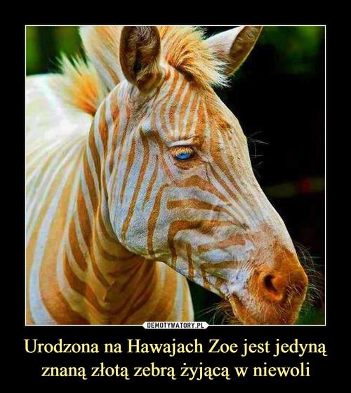 Urodzona na Hawajach Zoe jest jedyną znaną złotą zebrą żyjącą w niewoli
