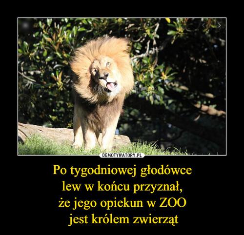 Po tygodniowej głodówce  lew w końcu przyznał,  że jego opiekun w ZOO  jest królem zwierząt