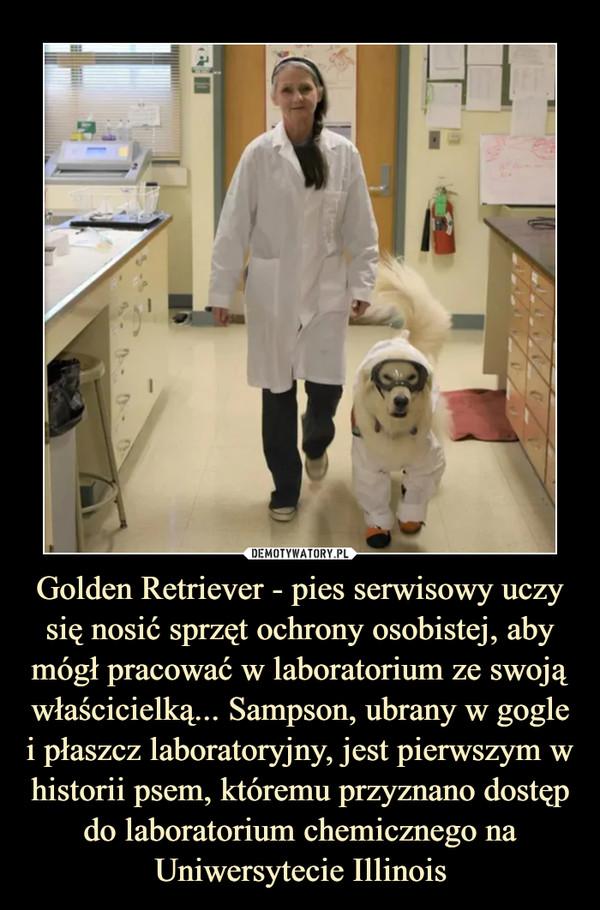 Golden Retriever - pies serwisowy uczy się nosić sprzęt ochrony osobistej, aby mógł pracować w laboratorium ze swoją właścicielką... Sampson, ubrany w gogle i płaszcz laboratoryjny, jest pierwszym w historii psem, któremu przyznano dostęp do laboratorium chemicznego na Uniwersytecie Illinois –