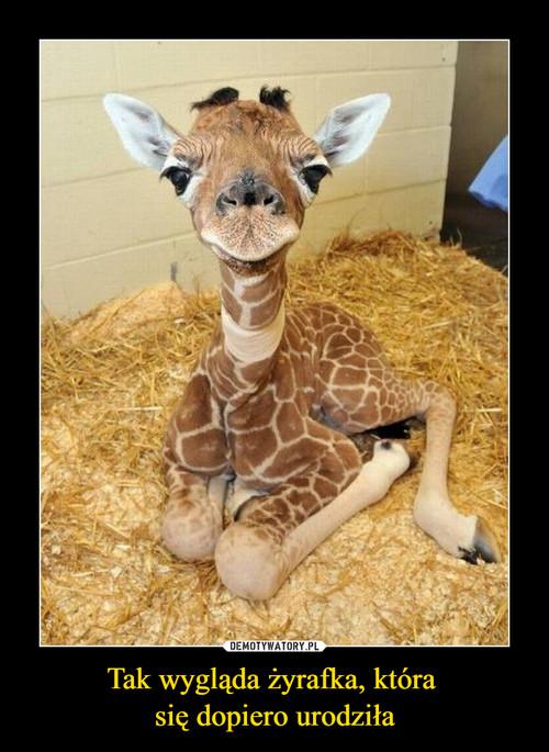 Tak wygląda żyrafka, która  się dopiero urodziła