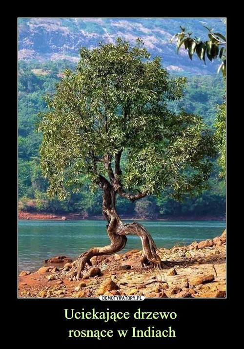 Uciekające drzewo  rosnące w Indiach