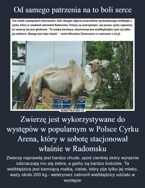 Od samego patrzenia na to boli serce Zwierzę jest wykorzystywane do występów w popularnym w Polsce Cyrku Arena, który w sobotę stacjonował właśnie w Radomsku