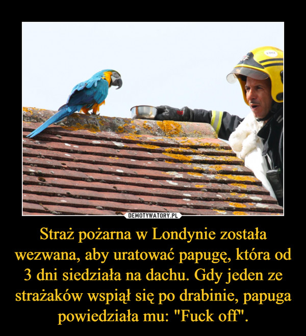 """Straż pożarna w Londynie została wezwana, aby uratować papugę, która od 3 dni siedziała na dachu. Gdy jeden ze strażaków wspiął się po drabinie, papuga powiedziała mu: """"Fuck off"""". –"""