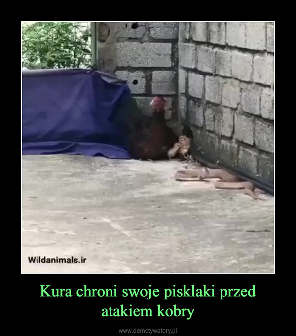 Kura chroni swoje pisklaki przed atakiem kobry –