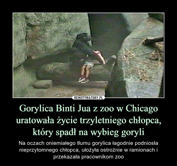 Gorylica Binti Jua z zoo w Chicago uratowała życie trzyletniego chłopca, który spadł na wybieg goryli – Na oczach oniemiałego tłumu gorylica łagodnie podniosła nieprzytomnego chłopca, ułożyła ostrożnie w ramionach i przekazała pracownikom zoo