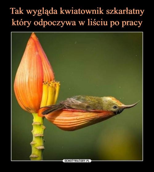 Tak wygląda kwiatownik szkarłatny który odpoczywa w liściu po pracy