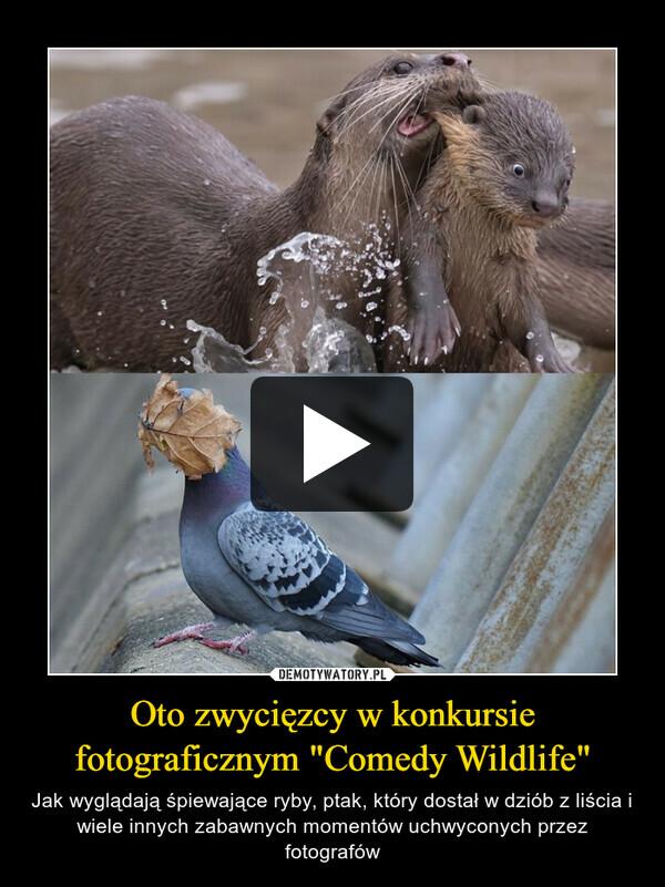 """Oto zwycięzcy w konkursie fotograficznym """"Comedy Wildlife"""" – Jak wyglądają śpiewające ryby, ptak, który dostał w dziób z liścia i wiele innych zabawnych momentów uchwyconych przez fotografów"""