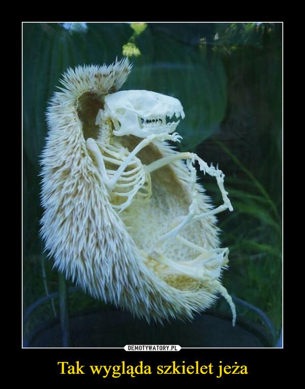 Tak wygląda szkielet jeża –
