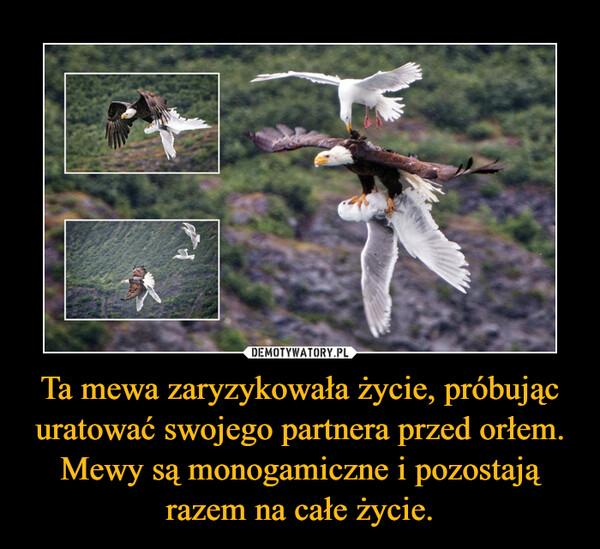 Ta mewa zaryzykowała życie, próbując uratować swojego partnera przed orłem. Mewy są monogamiczne i pozostają razem na całe życie. –